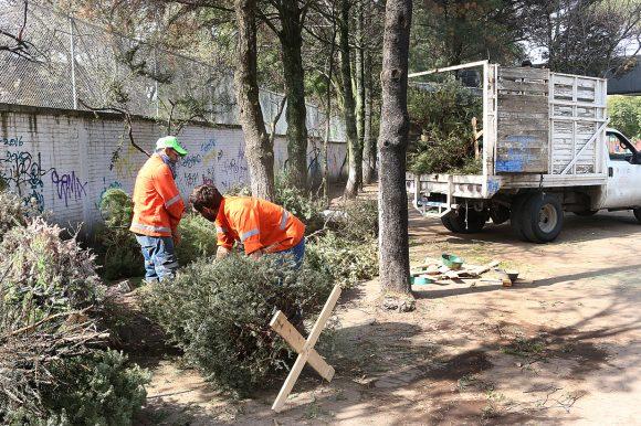 Inicia en Toluca acopio de árboles de navidad naturales